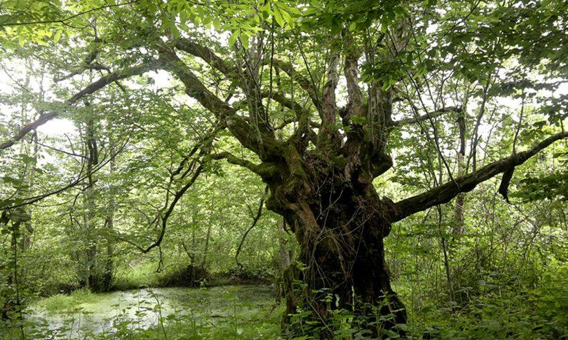 1625 anıt ağaca bakım yapılacak