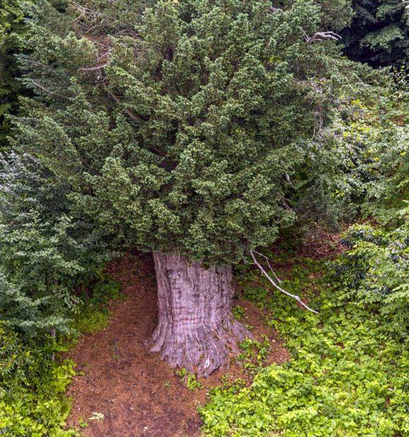 En yaşlı ağaç Zonguldak'ta