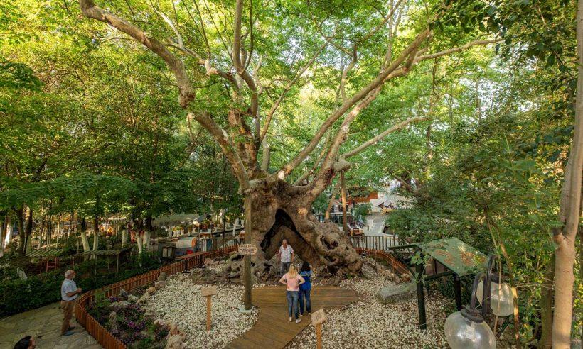 Yangından sonra 1000'i aşkın anıt ağaç bakıma alındı